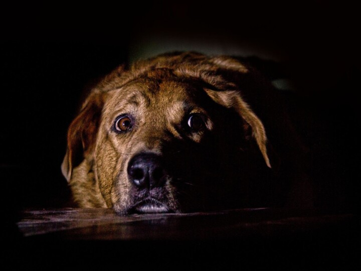 Brindle-colored dog lying with the head on the floor stares into the camera, looking sad and possibly scared.