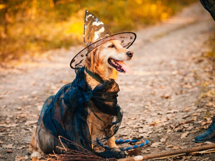 Golden Retriever dressed up as a witch in black clothing with see-through witch hat.