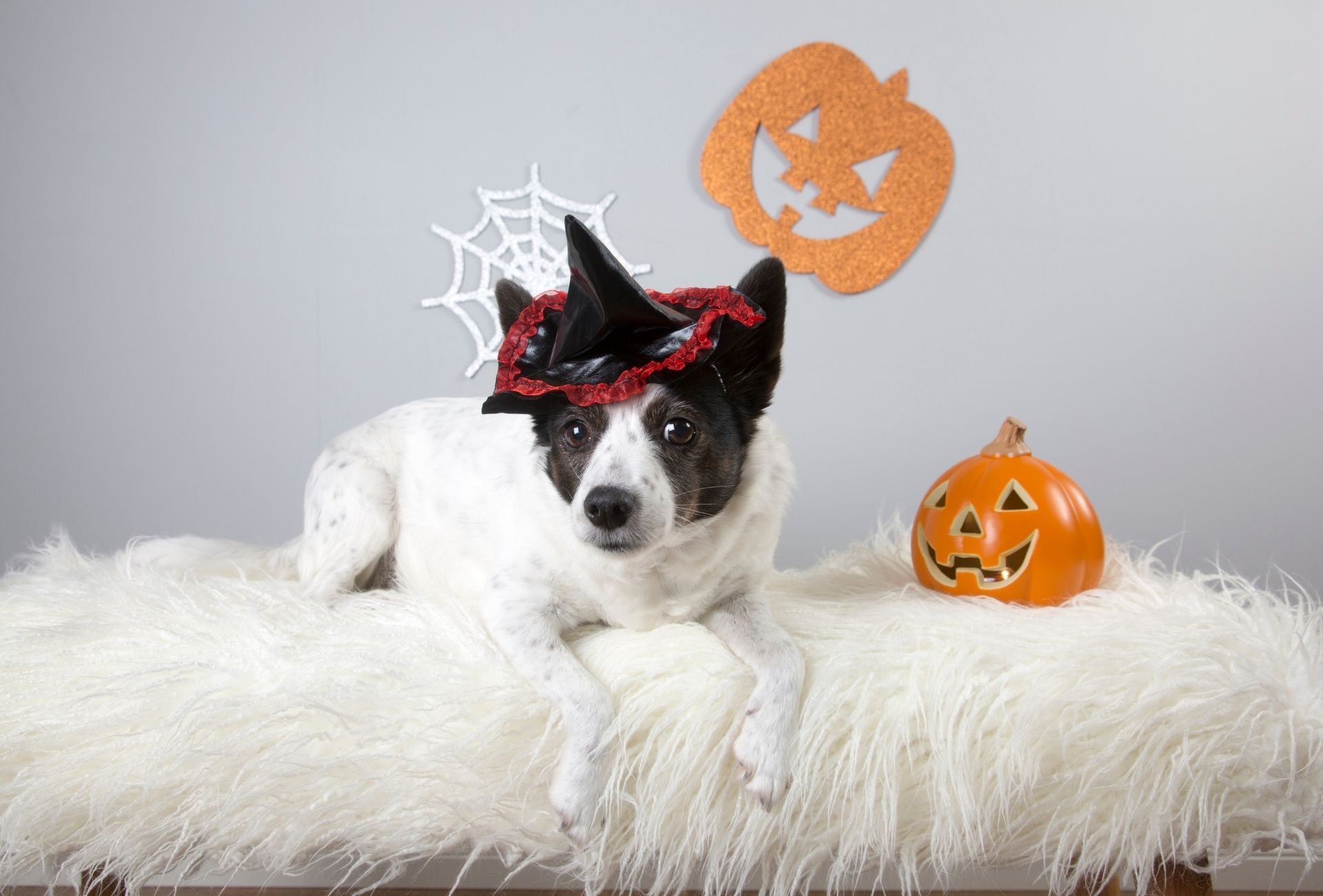 Small dog with a little witch hat lying on top of white fur with a spider web in the background.