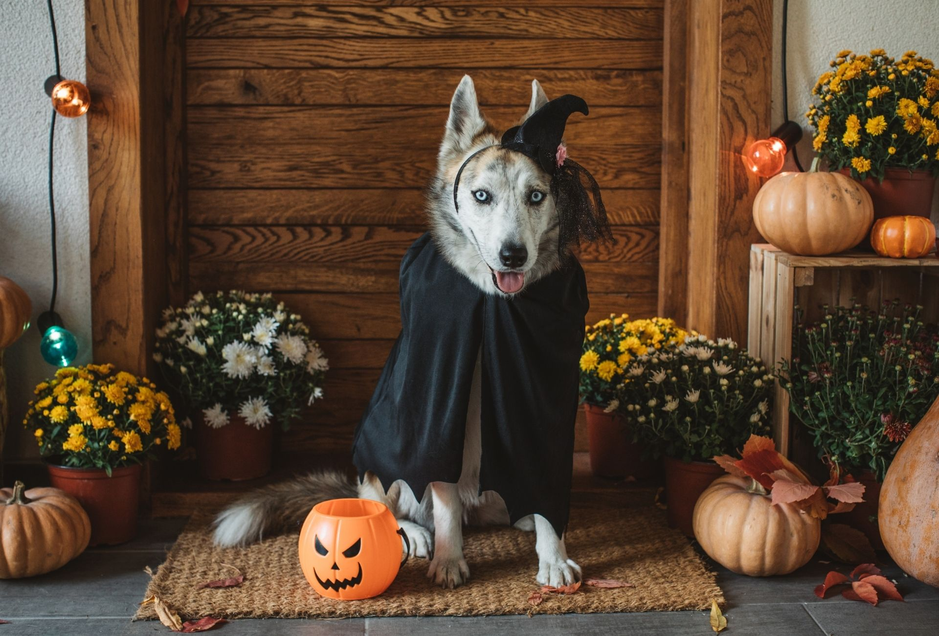 Husky wearing a witch costume with a Halloween pumpkin out front.