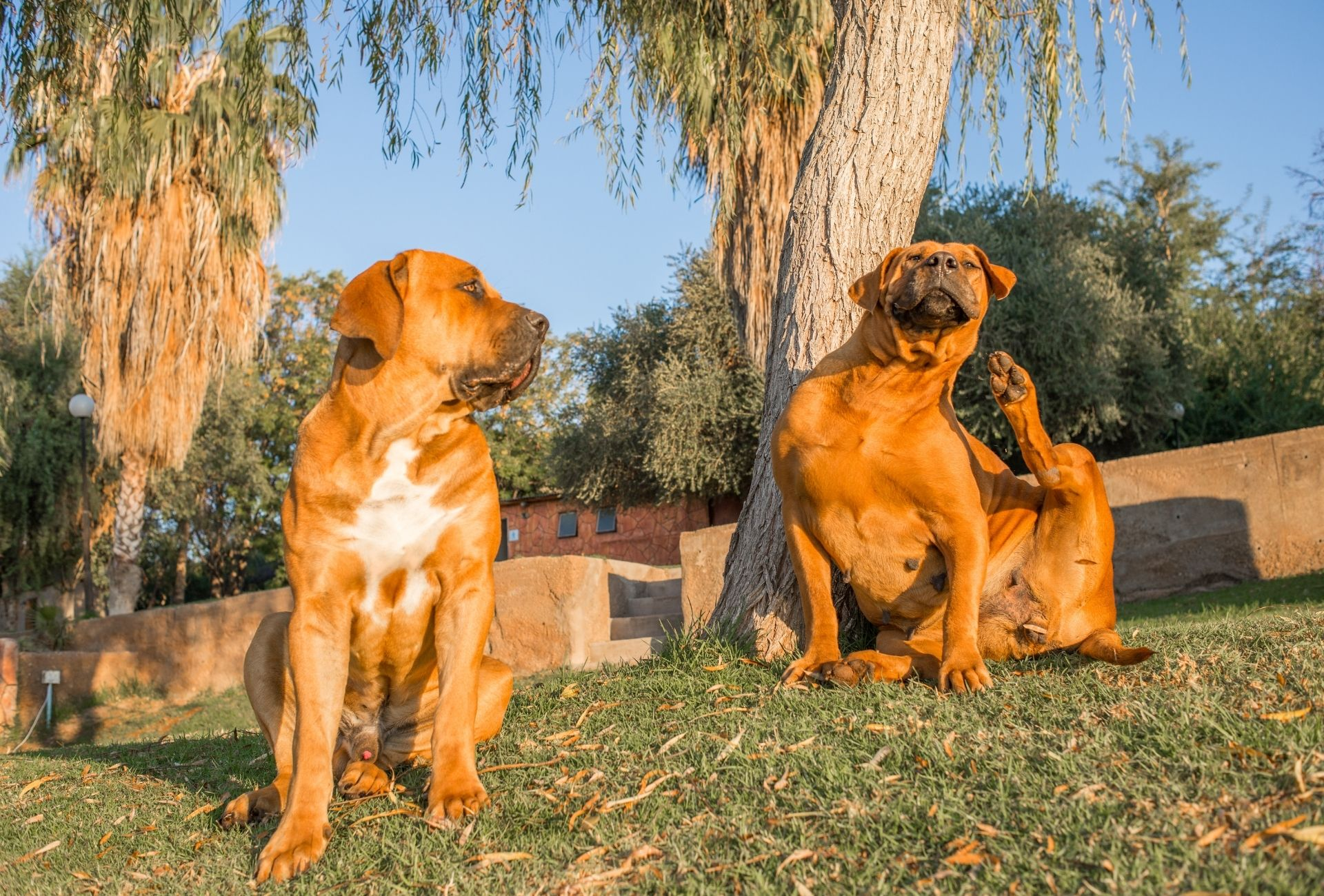 Two Boerboel dogs under a tree, the male is looking at the female scratching her head in a comical pose.