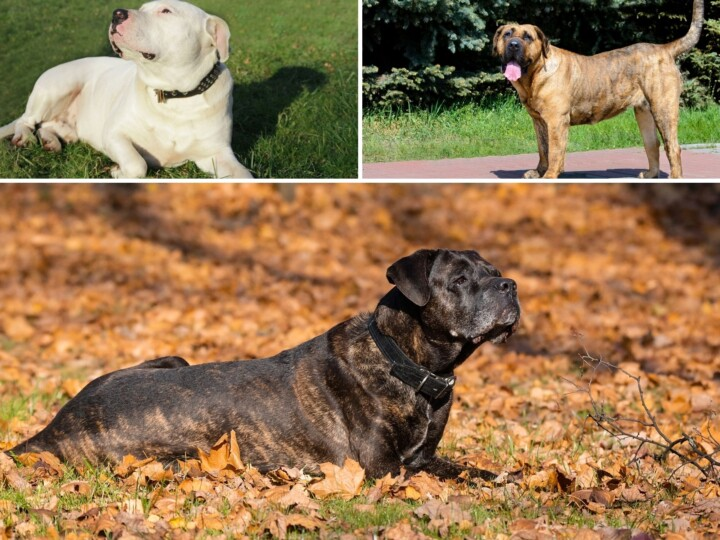 Top left depicts a Dogo Argentino, the right a Presa Canario and the bottom the Cane Corso.