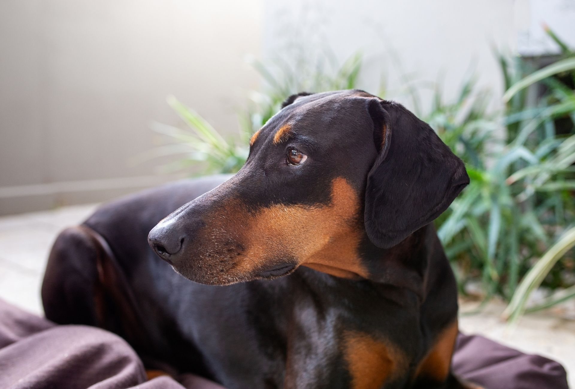 Floppy-eared Doberman looking to the side with plants in the background.