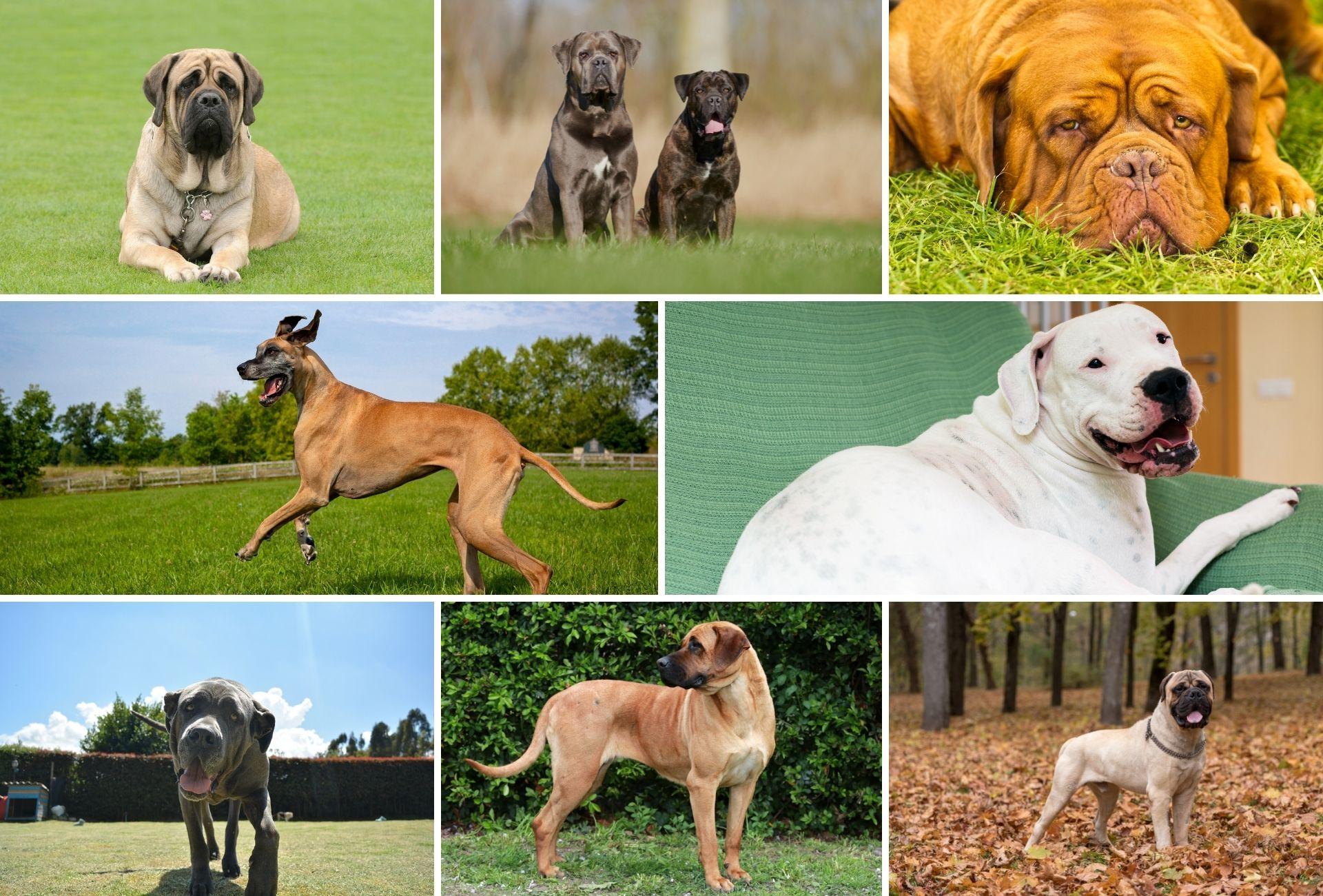 Collection of eight Mastiffs breeds including the English Mastiff, Cane Corso, Dogue de Bordeaux, Great Dane, Dogo Argentino, Neapolita Mastiff, Tosa Inu, and Boerboel.