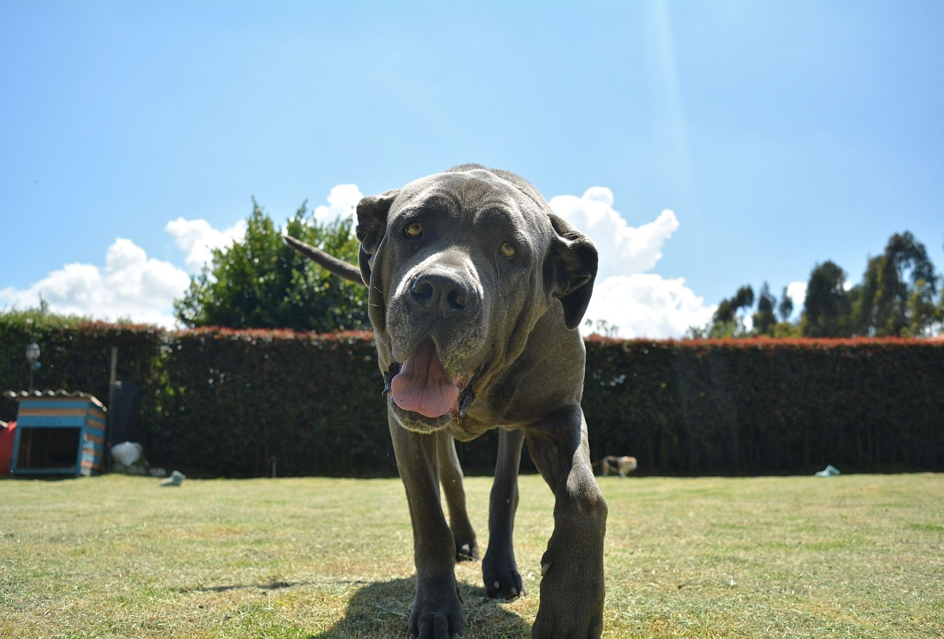 Large Neapolitan Mastiff with droopy eyes and big jowls walking towards the camera.