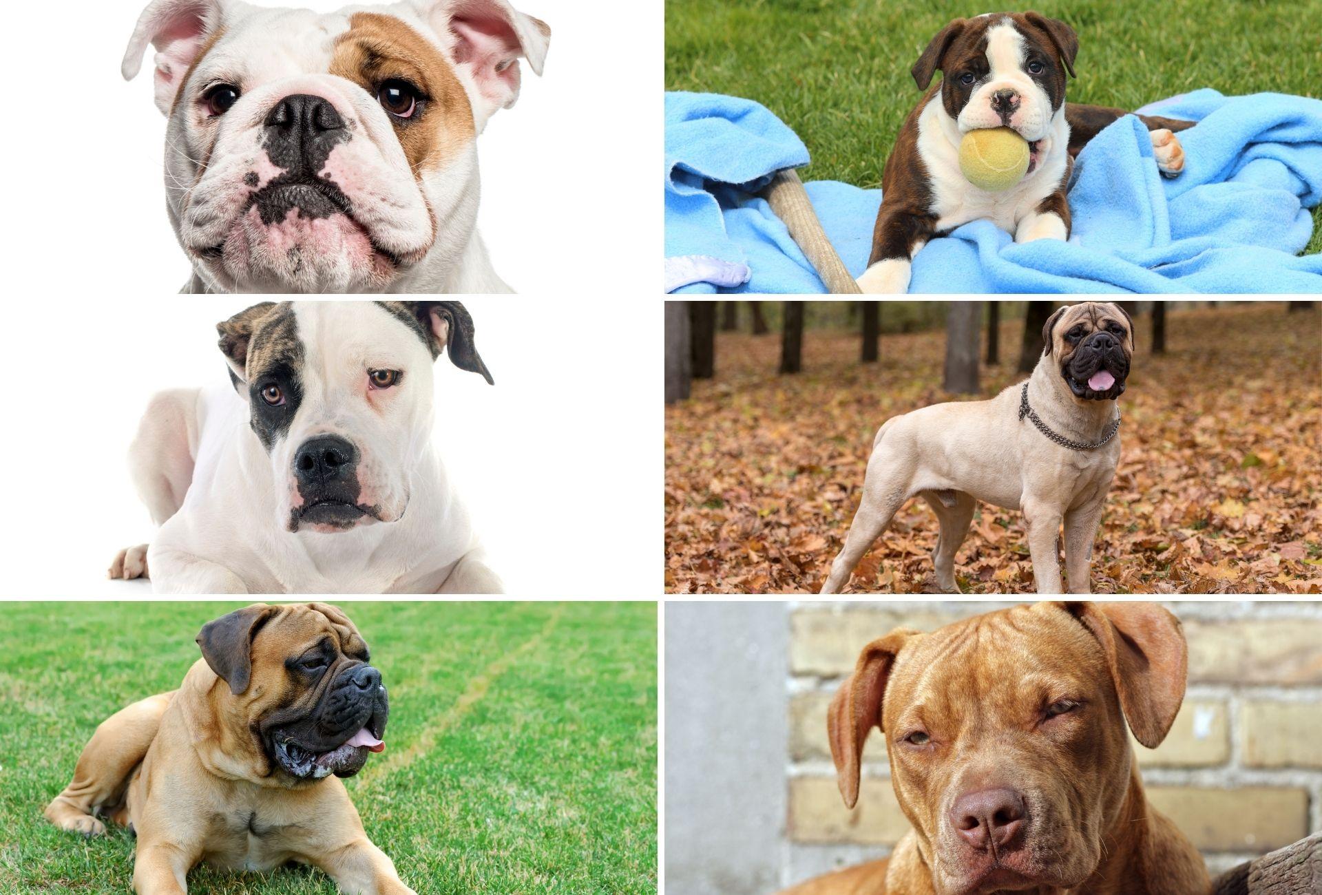 Snapshots of six breeds that went into the Renascence Bulldogge's creation which include the British Bulldog, Hermes OEB, American Bulldog, Bullmastiff, English Mastiff, and Pitbull bloodlines.