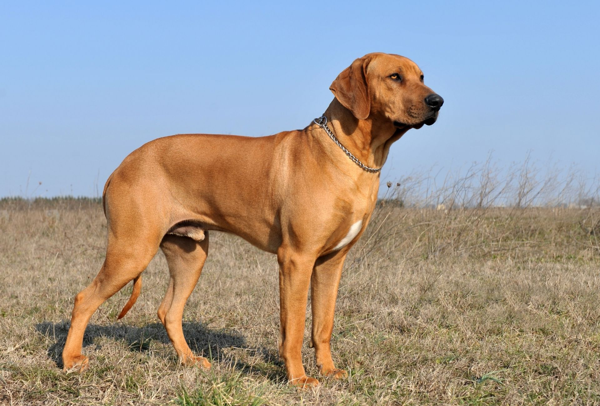 Musucular and thick-boned male Rhodesian Ridgeback stands outside on low grass under a clear blue sky.