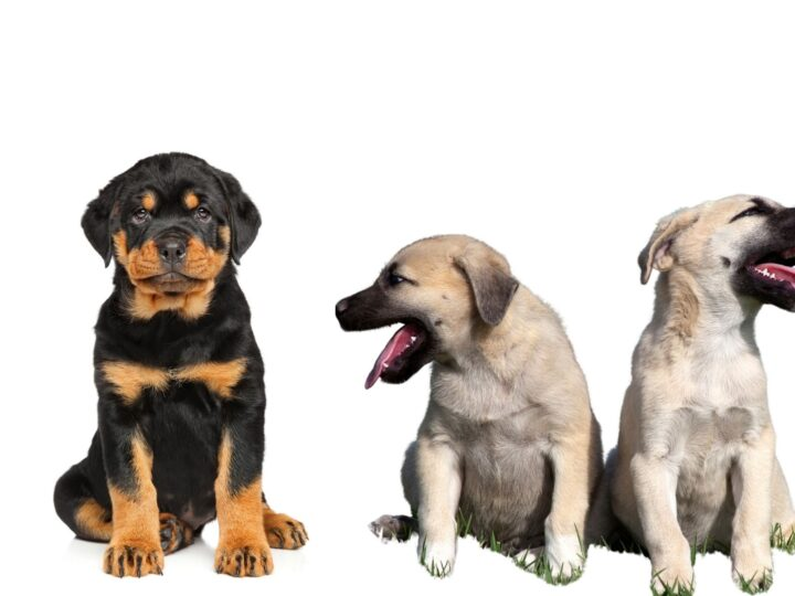 Rottweiler puppy sitting next to two Kangal puppies. Their large skulls contribute to their strong biting power but as puppies, both look super cute.