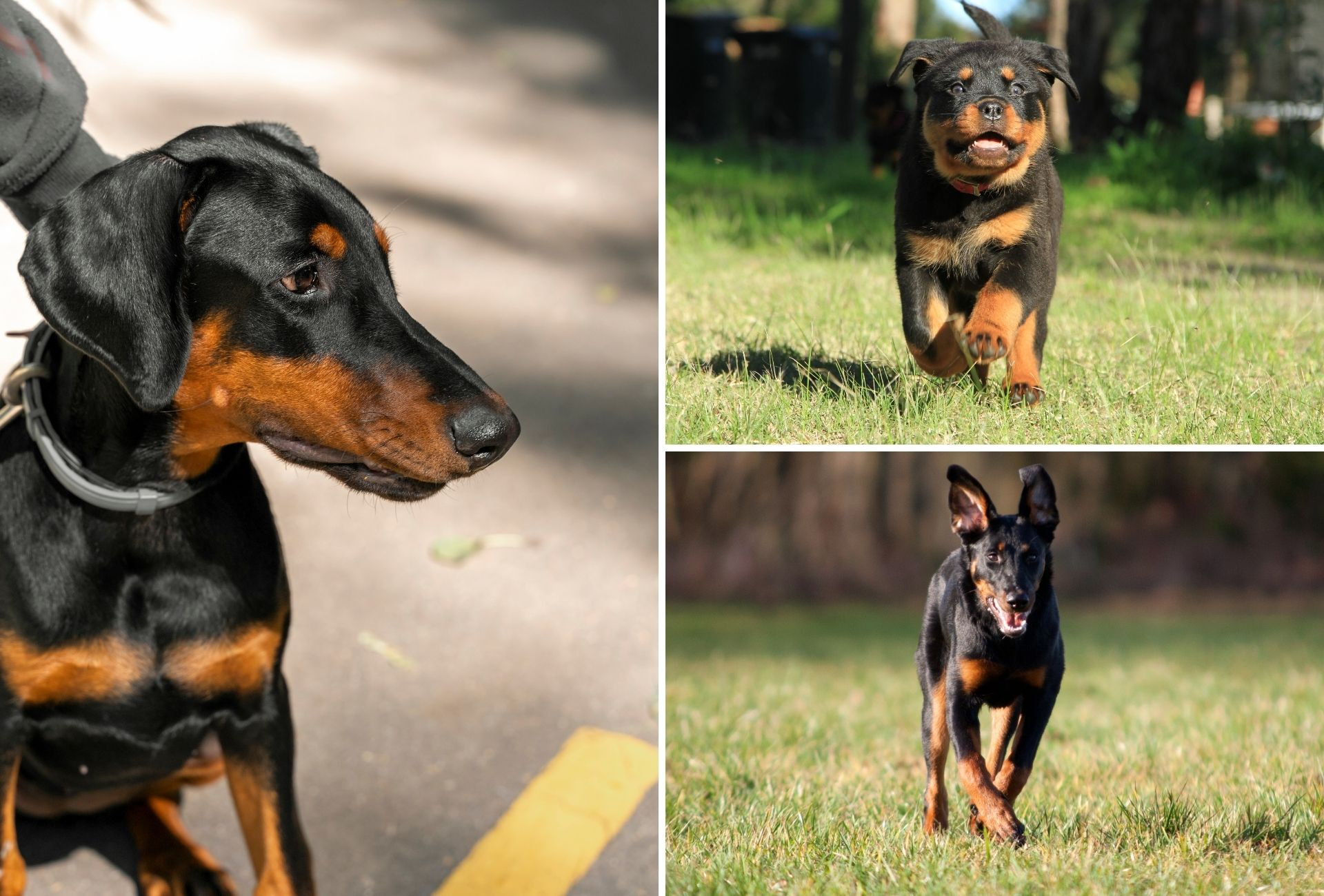 Doberman on the right side and a Rottweiler and Beauceron puppy on the right running on the grass.