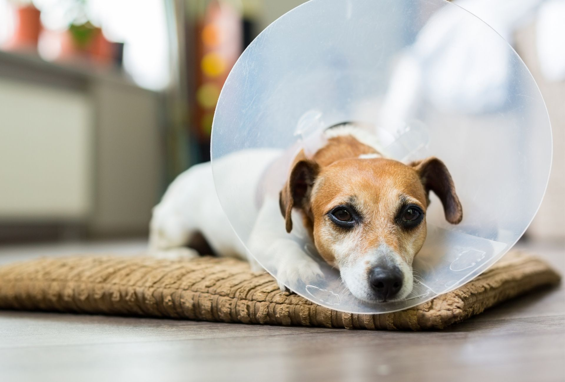 Dog lying on a mat with a plastic cone.