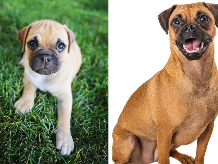 Retro Pug with potentially less health issues, one Chihuahua-Pug cross on the left and a Beagle Pug mix on the right.